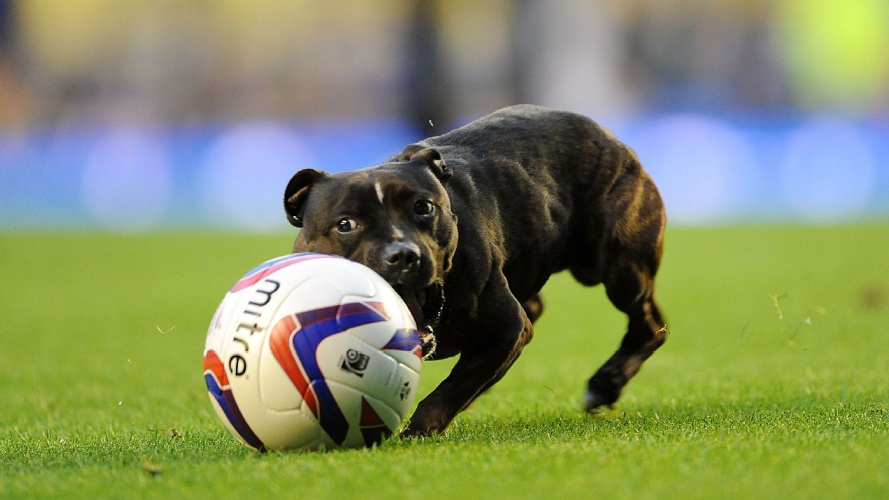 A dog plays with a football on the pitch