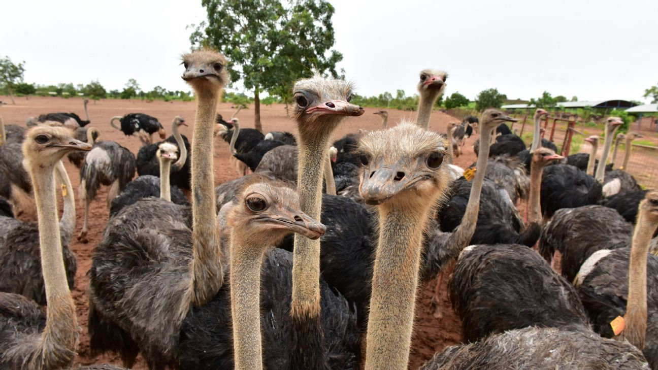 Some ostriches, earlier