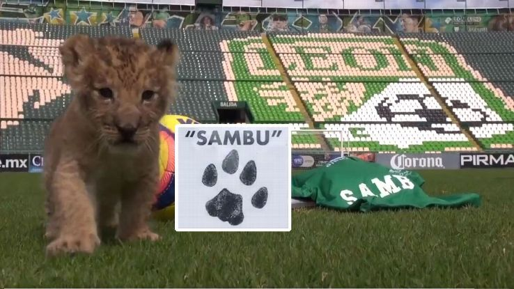 Sambu the lion cub was named after Club Leon midfielder Rubens Sambueza
