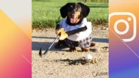 Crusoe the dachshund takes to the golf course