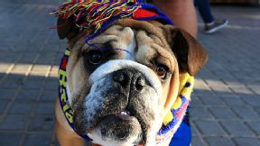 A dog is decked out in Barcelona colours ahead of the game against Bayern Munich