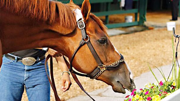 Kentucky Derby winner California Chrome stops to smell the flowers at Pimlico.