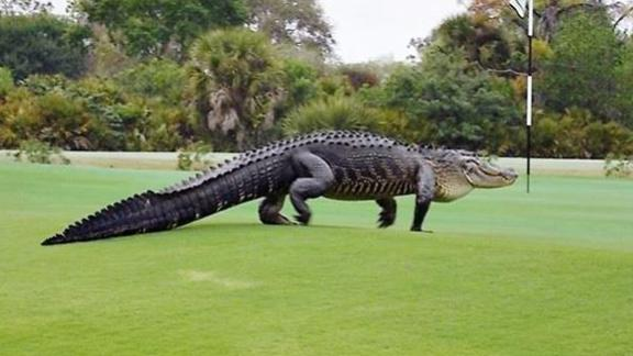 http://a.espncdn.com/media/motion/2015/0311/dm_150311_golf_alligator_sighting_may_be_good_for_golf_course/dm_150311_golf_alligator_sighting_may_be_good_for_golf_course.jpg