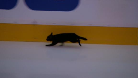 Black cat roams the ice pregame