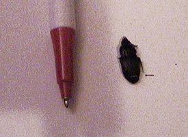Pen and Beetle