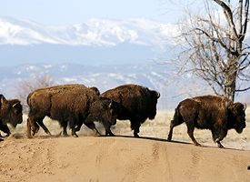 Wild Bison