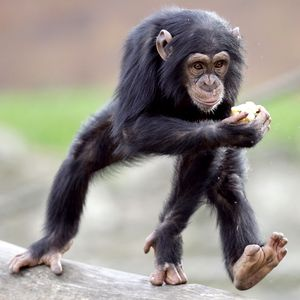 http://a.espncdn.com/photo/2007/1112/pg2_a_chimp_300.jpg