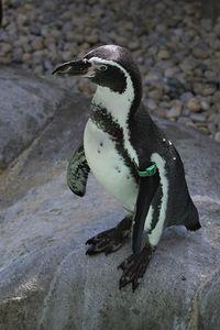 Tressel the penguin