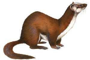Weasel