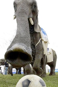 Citta the elephant, showing her soccer skills in 2006, is Poland's