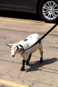 Cubs goat