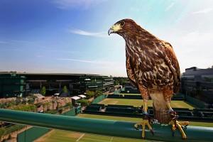 Wimbledon Hawk