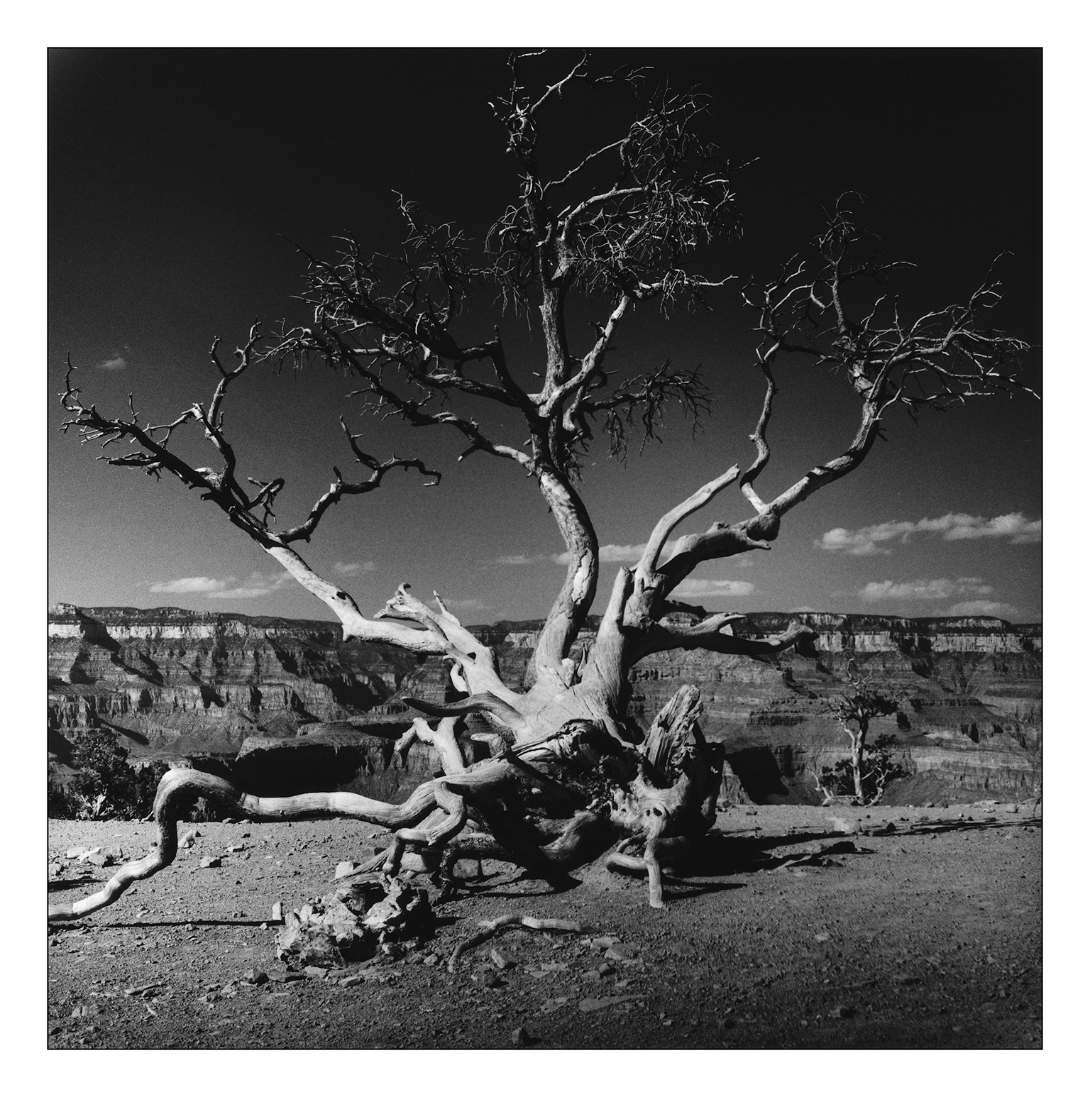 Old Tree, Grand Canyon