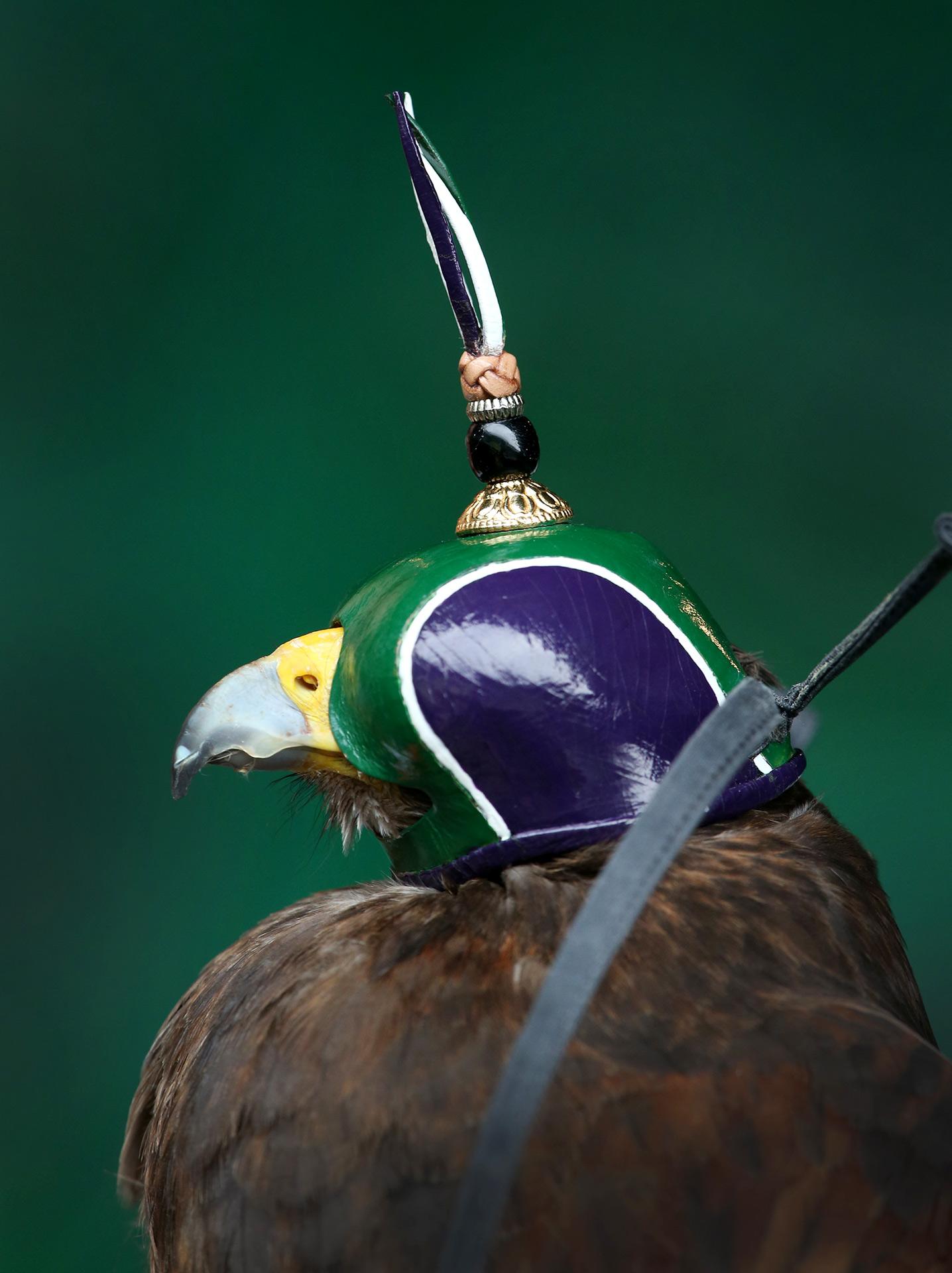 Rufus the Harris hawk
