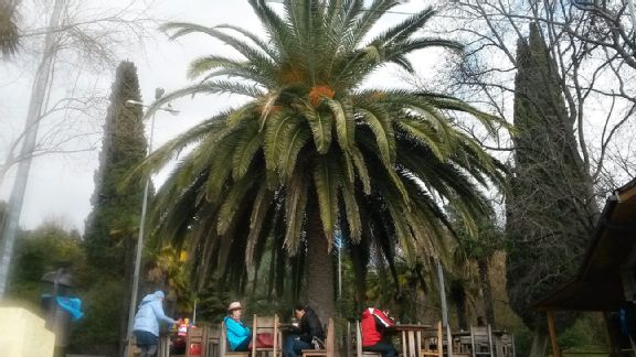 Sochi Palm Tree