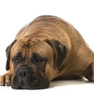 Cleveland Browns Mascot Dog Breed