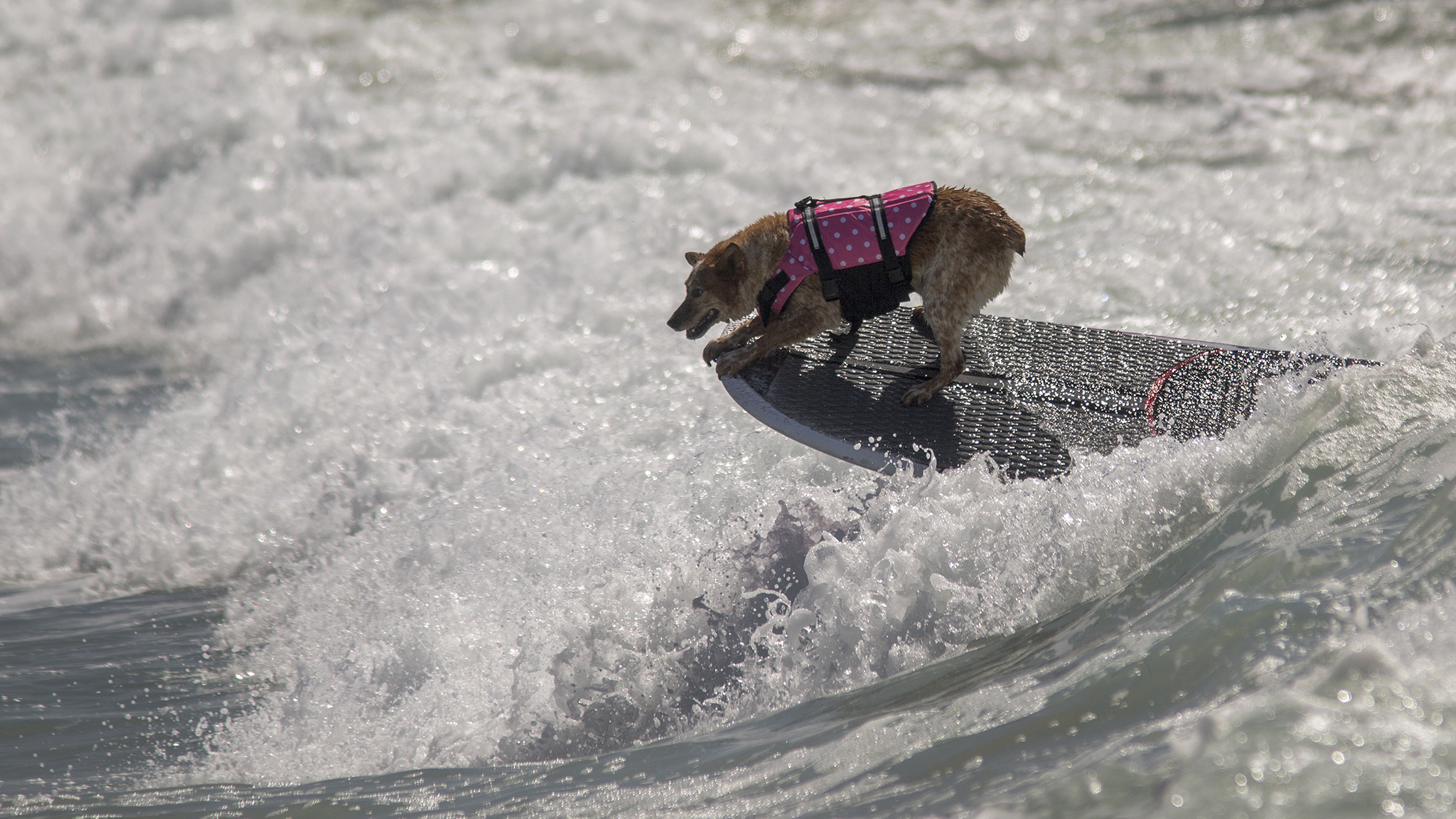 Canine surf skills