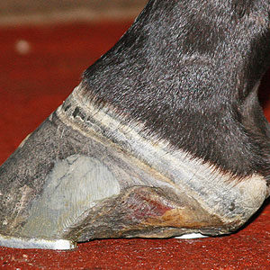 Big Brown was forced to retire from racing with hoof issues.