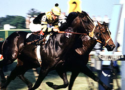 Seattle Slew (near) wins the Preakness Stakes en route to the 1977 Triple Crown.