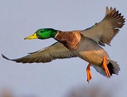 Duck Trek