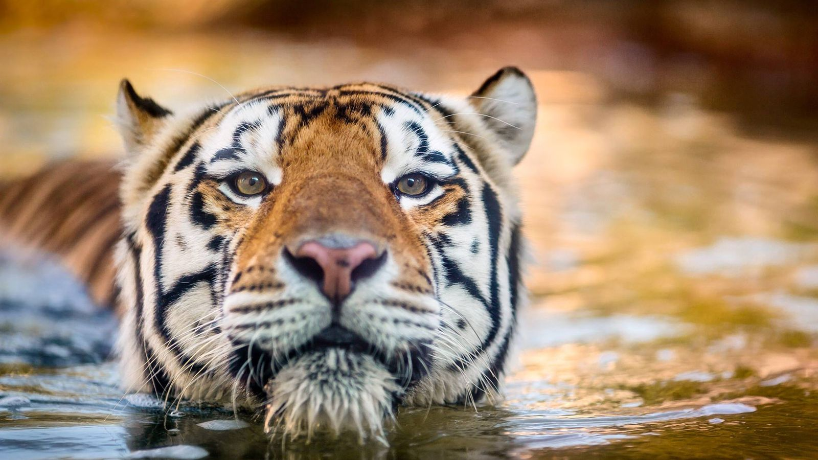 Mike Vi Lsu S Live Tiger Mascot Dies At 11