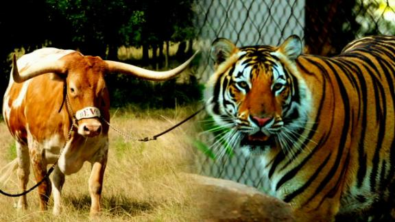 Bevo vs. Mike the Tiger: Sizing up the battle of best mascot